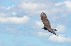 Circling Vulture Royalty Free Stock Image