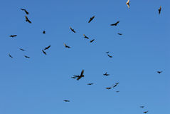 Circling Vultures Stock Images