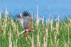 Circo occidental Aeruginosus de Marsh Harrier en vuelo imagenes de archivo