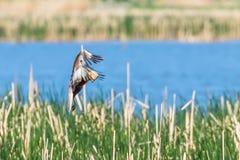 Circo occidental Aeruginosus de Marsh Harrier en vuelo fotografía de archivo libre de regalías