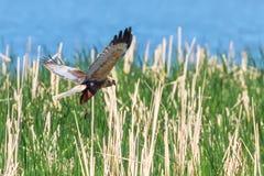 Circo occidental Aeruginosus de Marsh Harrier en vuelo foto de archivo libre de regalías