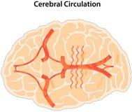 Circolazione cerebrale royalty illustrazione gratis
