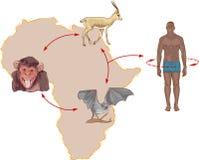 Circolazione del virus di Ebola dell'illustrazione in natura ed il modo della trasmissione agli esseri umani Immagini Stock Libere da Diritti