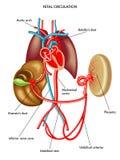Circolazione fetale royalty illustrazione gratis