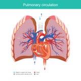 Circolazione polmonare illustrazione di stock