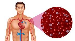 Circolazione sanguigna in essere umano illustrazione vettoriale