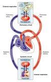 Circolazioni sistematiche e polmonari Fotografie Stock Libere da Diritti