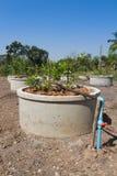 Circuit de refroidissement d'irrigation par égouttement dans le lemonfarm Photos libres de droits