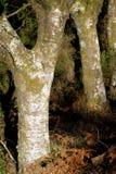Circuiti di collegamento degli alberi con muschio Fotografia Stock