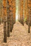 Circuiti di collegamento del pino Fotografie Stock Libere da Diritti