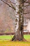 Circuiti di collegamento della betulla in autunno Immagini Stock Libere da Diritti