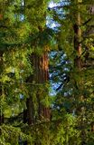 Circuiti di collegamento di alberi del Redwood al tramonto Immagine Stock Libera da Diritti