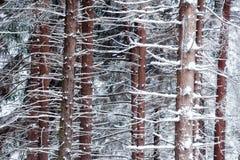 Circuiti di collegamento di albero nevicati del pino Fotografia Stock Libera da Diritti
