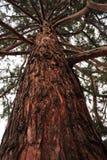 Circuito di collegamento della sequoia Fotografia Stock Libera da Diritti