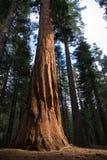 Circuito di collegamento della sequoia Immagine Stock Libera da Diritti