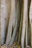 Circuito di collegamento di albero del Madagascar Fotografie Stock Libere da Diritti