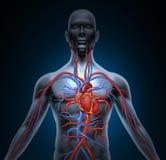 Circulación de corazón humana Fotos de archivo libres de regalías