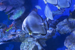 Circular batfish Platax orbicularis in water sea photo.  Royalty Free Stock Photo