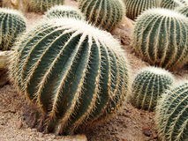 Circular Cactus Stock Photography