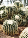 Circular Cactus Royalty Free Stock Photography