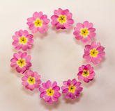 Circular floral frame of pink primrose flowers with space for text Royalty Free Stock Photos
