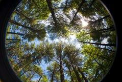 Circular pine grove Royalty Free Stock Image
