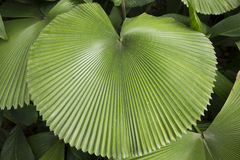 Circular Tropical Palm leaf Royalty Free Stock Photo
