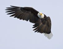 circulation d'aigle de cop attentive Photos libres de droits