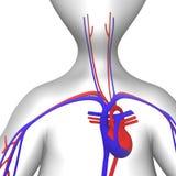 Circulatory. 3d render of cartoon character and circulatory system Stock Images