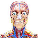 Circulatory and nervous system in blue of eyes, vector illustration