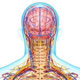 Circulatory and nervous system of brain Royalty Free Stock Photo