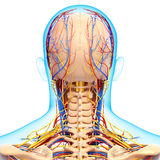 Circulatory and nervous system of brain. 3d art illustration of Back view Circulatory and nervous system of head and brain Royalty Free Stock Image