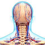 Circulatory and nervous system of brain Stock Images