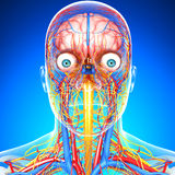 Circulatory and nervous system of head royalty free illustration