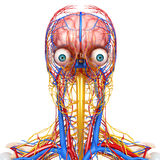 Circulatory and nervous system of head. 3d art illustration of Circulatory and nervous system of head Stock Images