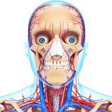 Circulatory and nervous system of head. 3d art illustration of Circulatory and nervous system of head Stock Photos