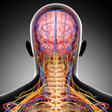 Circulatory and nervous system of head. 3d art illustration of Circulatory and nervous system of head Stock Image