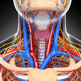 Circulatory and nervous system of head vector illustration