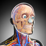Circulatory and nervous system of head Royalty Free Stock Image