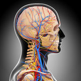 Circulatory and nervous system of head. 3d art illustration of Circulatory and nervous system of head Royalty Free Stock Images
