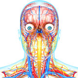 Circulatory and nervous system of head. 3d art illustration of Circulatory and nervous system of head Stock Photo