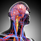 Circulatory and nervous system of head. 3d art illustration of Circulatory and nervous system of head Royalty Free Stock Photography