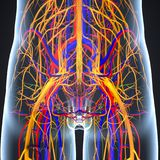 Circulatory and Nervous System with Lymph Nodes. The circulatory system, also called the cardiovascular system or the vascular system, is an organ system that Royalty Free Stock Photos