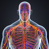 Circulatory and Nervous System with Lymph Nodes. The circulatory system, also called the cardiovascular system or the vascular system, is an organ system that Stock Images