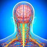 Circulatory and nervous system of male head. 3d art illustration of Circulatory and nervous system of male head Stock Images