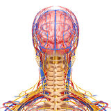 Circulatory and nervous system of male head Royalty Free Stock Photography