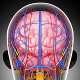 Circulatory and nervous system of male head stock illustration