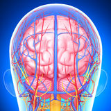 Circulatory and nervous system of male head. 3d art illustration of Circulatory and nervous system of male head Royalty Free Stock Images