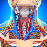 Circulatory and nervous system of throat. 3d art illustration of Circulatory and nervous system of throat Royalty Free Stock Photography