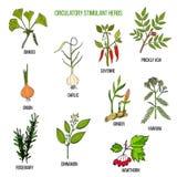 Circulatory stimulant herbs. Hand drawn vector set of medicinal plants Stock Photo